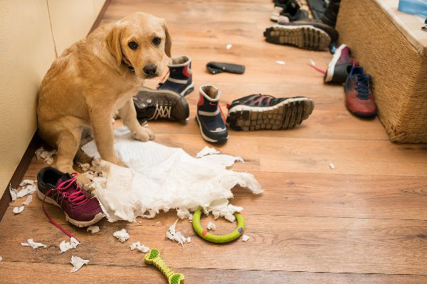 A dog with chewed-up towels and shoes, looking sad or embarrassed.