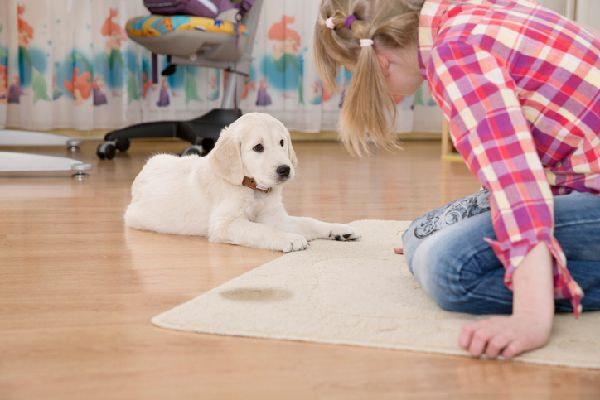 A little girl looking at a dog who has peed on the carpet.