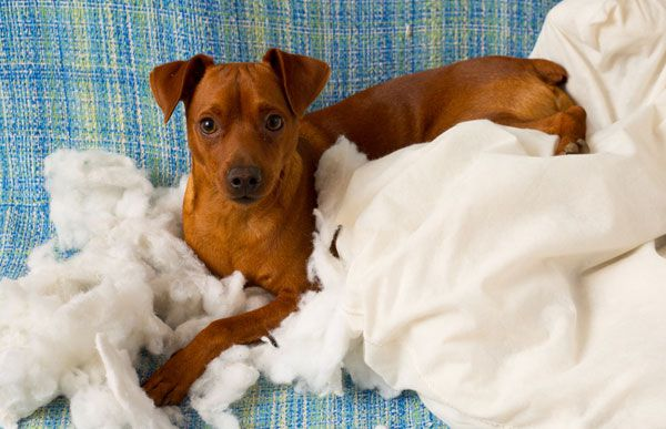 Photo naughty playful puppy dog after biting pillow tired of hard work. by Shutterstock.