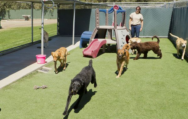 A female staff member at a kennel supervises several large dogs playing together. by Shutterstock.