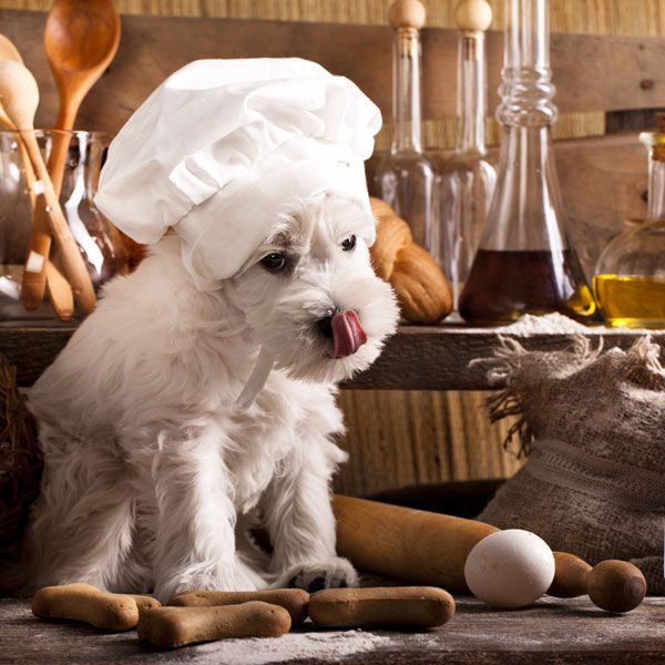Dogs are omnivores who will chew on and eat anything that's available to them. Miniature Schnauzer in chef's hat by Shutterstock.
