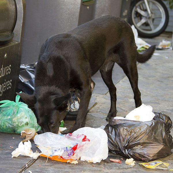 Dogs that are anxious, bored, or abused may turn to eating to relieve stress. Dog eating litter in the street by Natursports for Shutterstock.