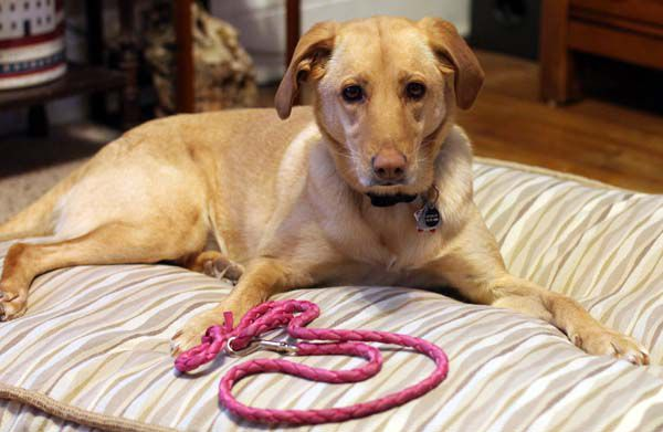 Charlie will curl up with a leash to try to tempt me away from the office. (Photo by Heather Burt)