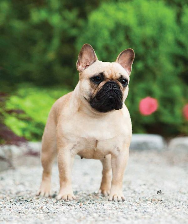 Freda the French Bulldog. Photo by Ethan Wheeler.
