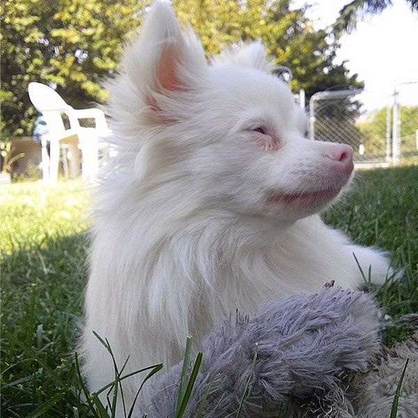 Albino dogs, or dogs with a form of albinism, are unable to produce sufficient melanin. White is a color; albinism is the absence of color. Photo by mi_pequena_luna on Instagram.