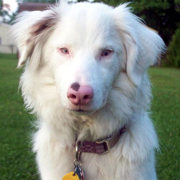 This beautiful dog is Keller, a double merle Australian Shepherd. Her owner writes very movingly about the difficulties and health issues of double merle dogs, not to be confused with albino dogs. Photo by allaussies on Tumblr.
