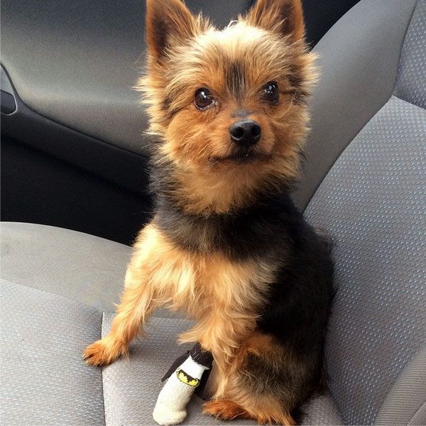 A dog after a dewclaw surgery.