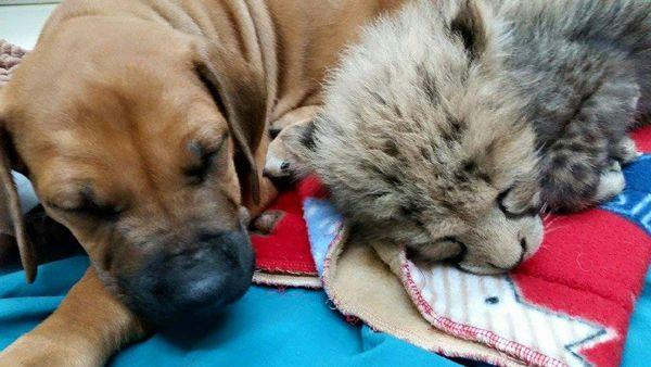 dog-and-cheetah-2