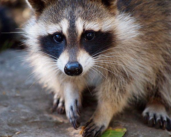 He's cute, but he's treacherous. Raccoon by Shutterstock.