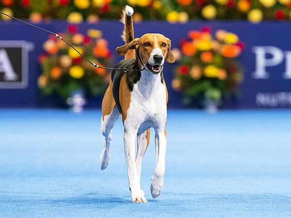 Jewel the American Foxhound took home top honors at last year's National Dog Show.