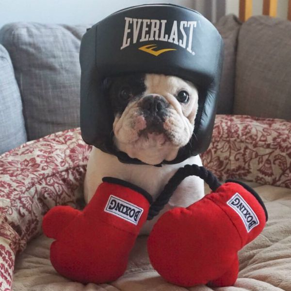 Manny is ready to rumble, just like his namesake. (Photo via @manny_the_frenchie)