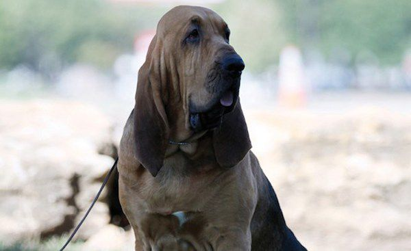 Nathan the Bloodhound.
