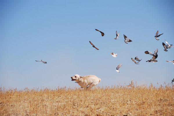 A dog happily chasing after birds in a field.
