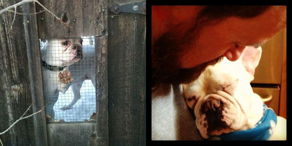 French bulldog rescued from a puppy mill.