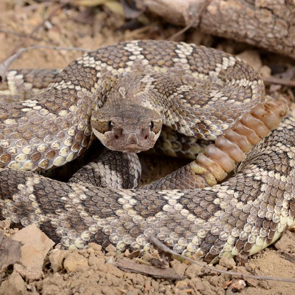 Southern Pacific Rattlesnake by Shutterstock.