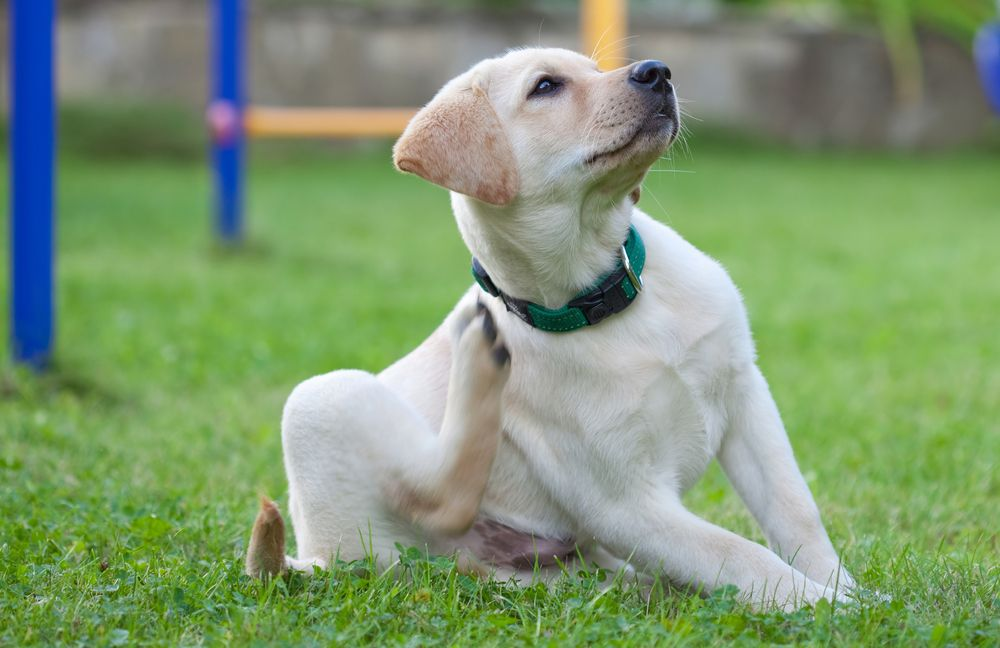 A dog scratching himself with a collar on.