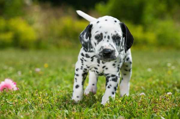 """Dalmatians surged in popularity after the """"101 Dalmatians"""" movies.  Dalmatian by Shutterstock"""