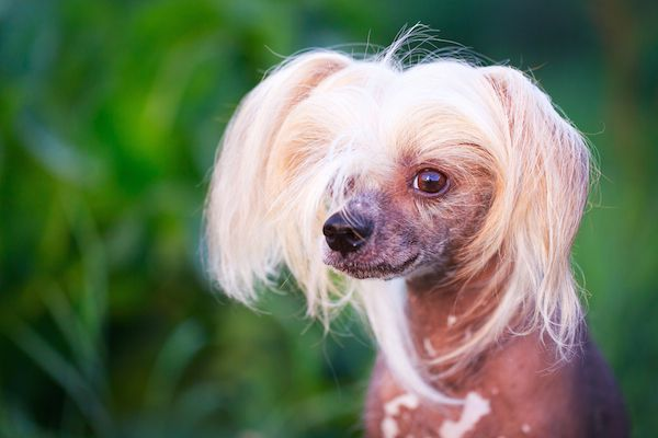 Chinese Crested dog by Shutterstock