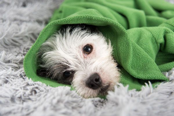 A sick white dog wrapped in a green blanket.