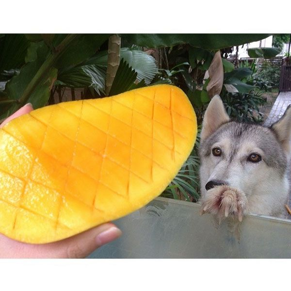 A hHusky staring at a piece of fruit. (Photo by _tinylola_ on Instagram)