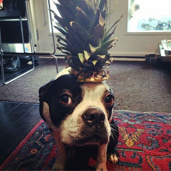 A dog with a pineapple on his head. (Photo by joeleeduff on Instagram)