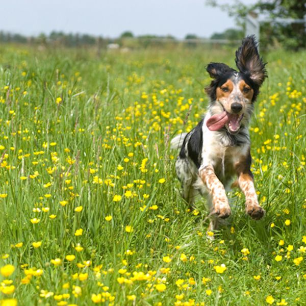 """""""Aromatherapy makes me feel as happy as a pup running through a field!"""" Happy dog running through a meadow with buttercups by Shutterstock."""