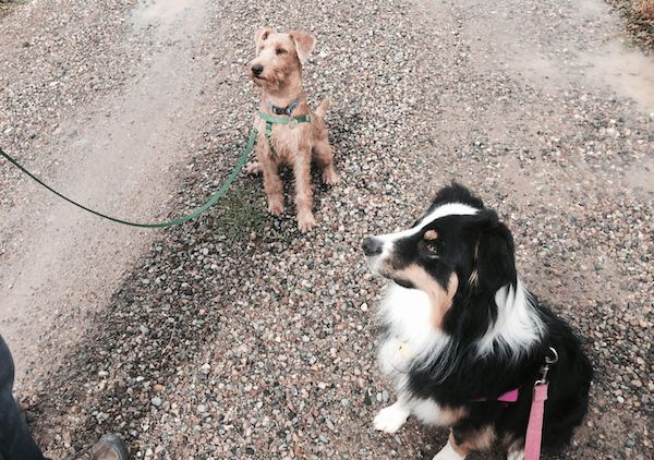Leashes keep dogs safe and from being chased by other dogs (Photo by Annie Phenix)