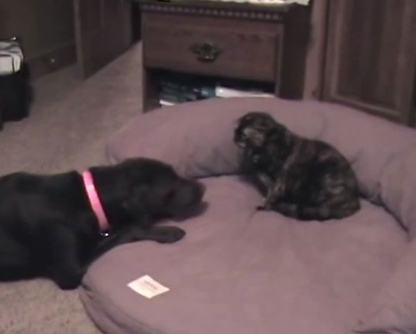 cats-and-dogs-fighting-over-beds-09