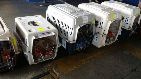 Satos are ready to fly to Philadelphia, where they have new forever homes. (Photo via Save a Sato's Facebook page)