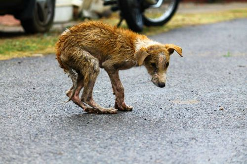 Without adequate care and nutrition, most street dogs do not live more than 5-7 years.