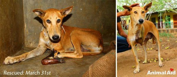 Sheenu was rescued by Animal Aid Unlimited and given a life-saving amputation.