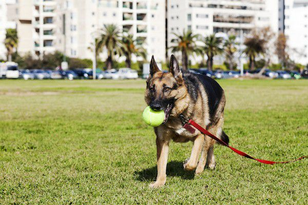 German Shepherd with ball in his mouth by Shutterstock.
