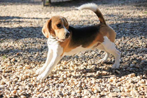 Beagle stretching by Shutterstock.