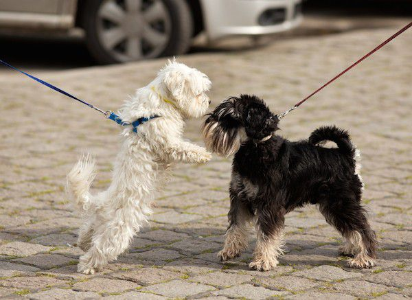 Two dogs meeting by Shutterstock.
