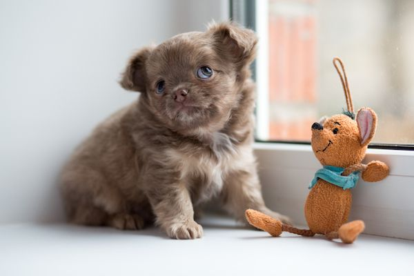A Chihuahua puppy with a toy.
