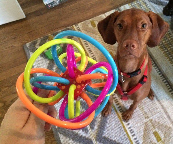 Finley could easily confuse a brightly colored baby toy for her own plaything. (Photo by Whitney C. Harris)