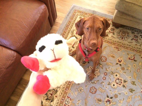 One of Finley's favorite plush toys that is specifically made for dogs. (Photo by Whitney C. Harris)