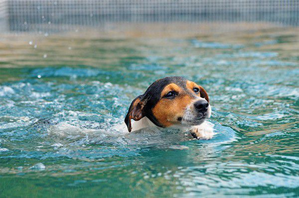 (Dog swimming in pool by Shutterstock)