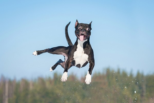 A dog jumping in the air.