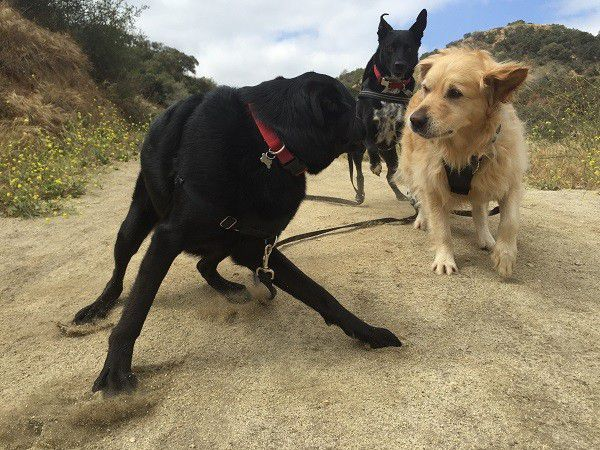 Riggins runs up to put the smack down on two guests that need to be told it's time to hike not wrestle. (Photo by Wendy Newell)
