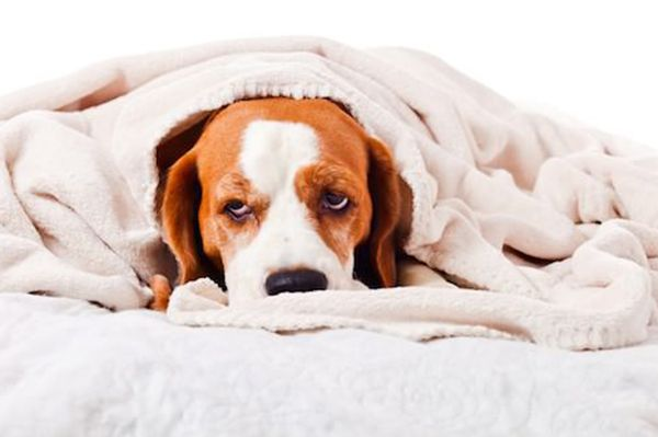A beagle or hound dog looking sick and under the weather.