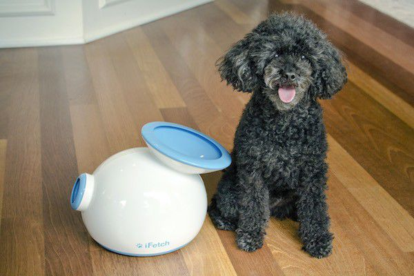 Toy Poodle Prancer — the inspiration behind the iFetch. (Photo courtesy the Hamill family)