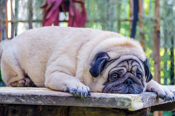 about pancreatitis in dogs