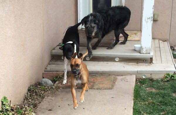 Baxter, Monster, and another dog in training. (Photo by Annie Phenix)