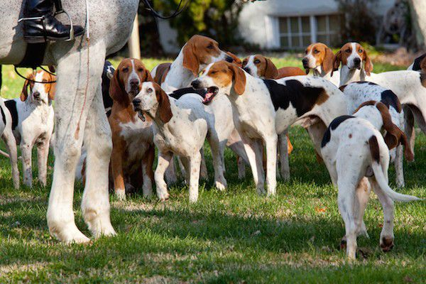 American Foxhounds.