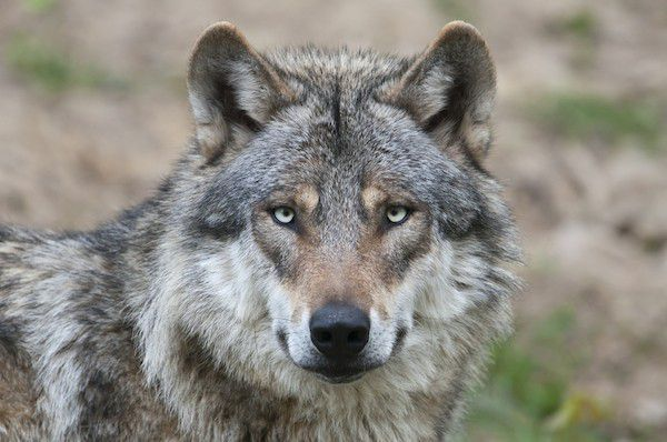 This is a wolf, not a dog. (Wolf by Shutterstock)