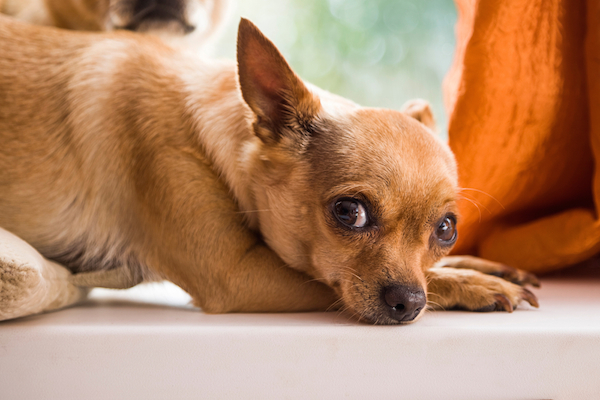 A Chihuahua looking scared.