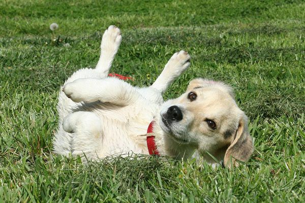 This smelly dog loves rolling in poop. (Photo via Pixabay)