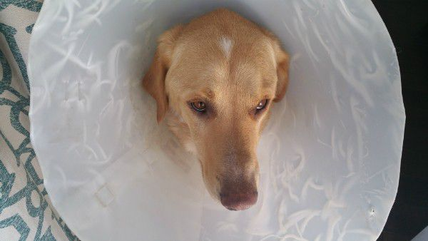 Seasonal allergies mean my poor GhostBuster has spent a lot of time in this cone that he hates.