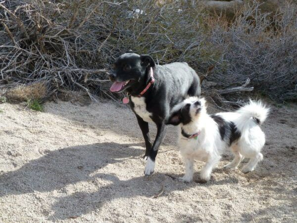 """Daisy is the only """"big"""" dog that Sadie really likes. (Photo by Abbie Mood)"""